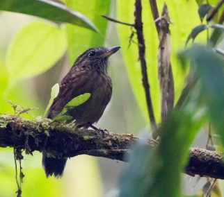 Spiny-faced Antshrike
