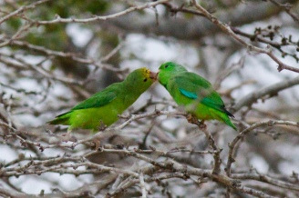 Pair of Green-rumped Parrotlets