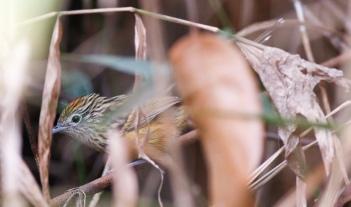 Santa Marta Antbird