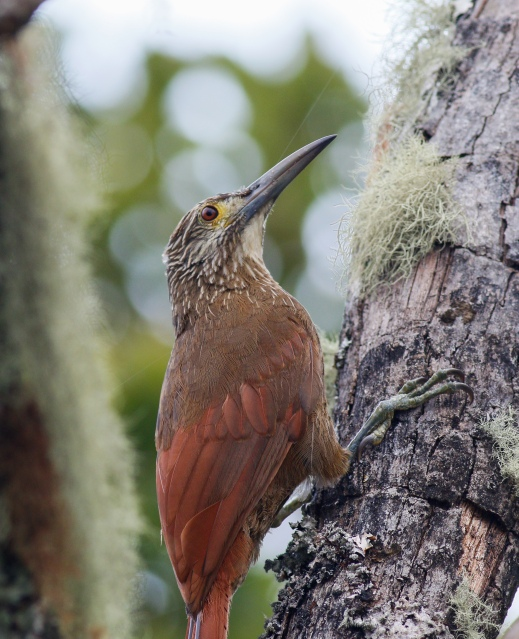 Strong-billed Woodcreeper photographed near the small lake above San Lorenzo Biological Station Sierra Nevada de Santa Marta, Colombia