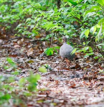 Red-legged Tinamou heading down the road