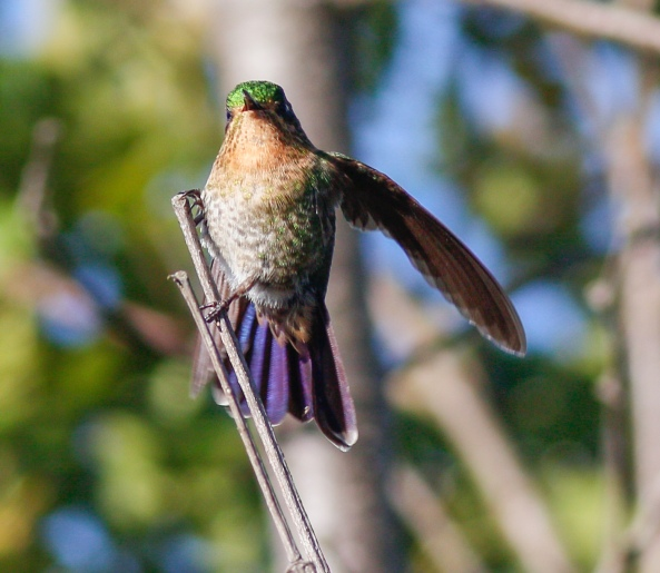 Female Tyrian Metaltail showing a blue tint to the tail and pale tail tips as well!