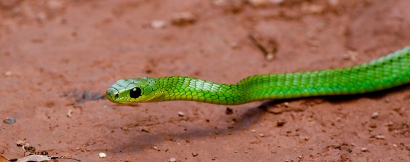 Leptophis ahaetulla, or a different Parrot-Snake? Emerald Slither-Belly? We are better at identifiying birds.