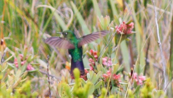 Blue tint to the tail and tail size point at this male being a Tyrian Metaltail.