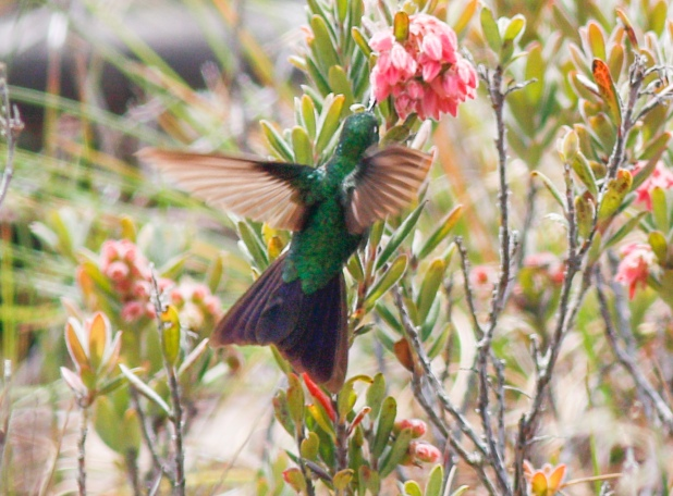 This bird in flight shows a larger, burgundy tinted tail, we identified it as a male Perijá Metaltail.