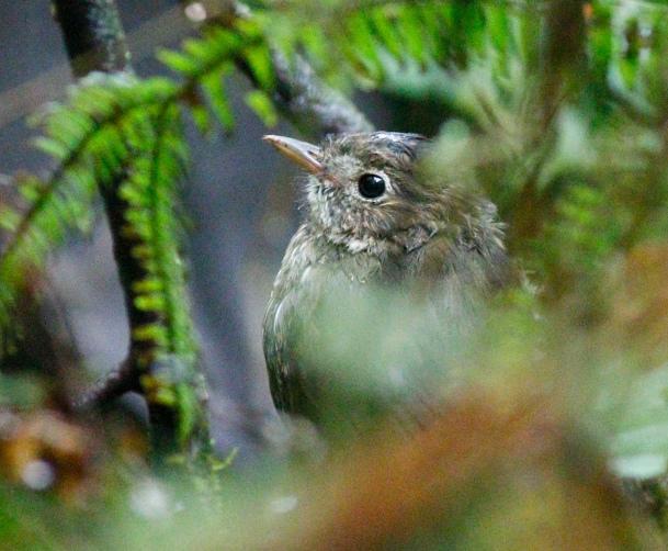 Cundinamarca Antpitta (juvenile)