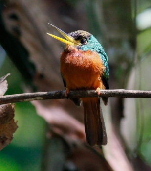 Yellow-billed Jacamar