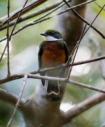 Yellow-crested Manakin