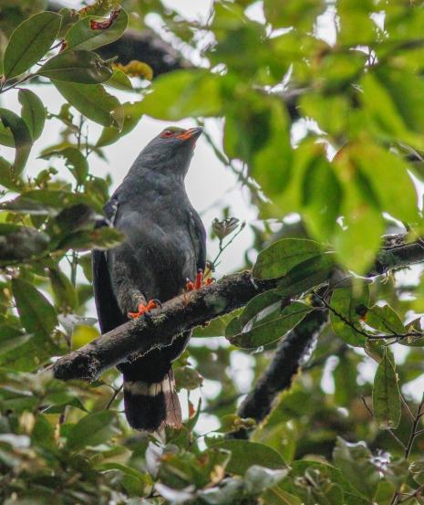 Plumbeous Hawk