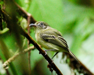 Southern Bentbill