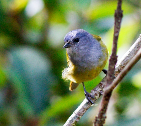 Female Capped Conebill