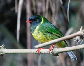 Green-and-Black Fruiteater who also comes to take advantage of the worms