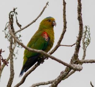 Indigo-winged (Fuertes's) Parrot