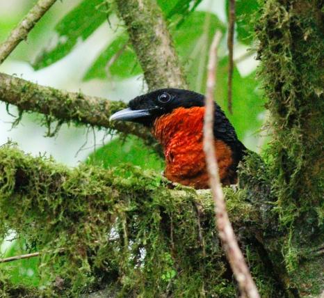 Red-ruffed Fruitcrow at Otun Quimbaya