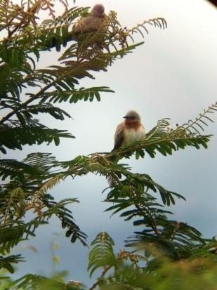 Dwarf Cuckoo (Coccyzus pumilus) at Laguna de Sonsa
