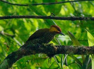 Lita Woodpecker (Piculus litae)