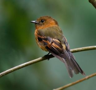 Cinnamon Flycatcher (Pyrrhomyias cinnamomeus)
