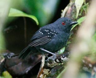 Esmeraldas antbird (Myrmeciza nigricauda)