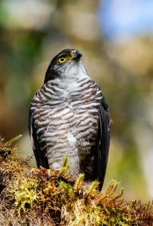Semi-collared Hawk