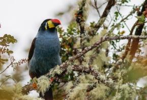 Gray-breasted Mountain-Toucan (Andigena hypoglauca)