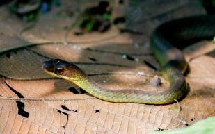 Unknown snake at Mashpi-Amagusa Reserve