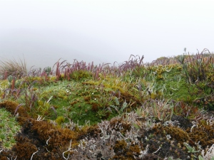 Lycopod and moss covered terrain along the road to the radio towers with limited visibility