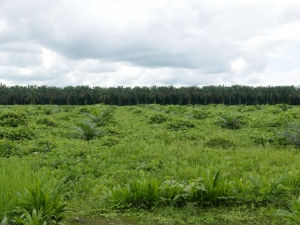 Palm Oil Plantations on the way towards Canandé