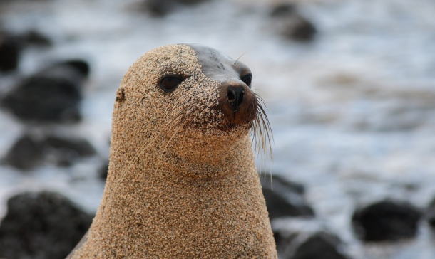 Sea Lion covered in sand