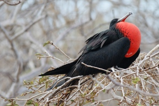 Great Frigatebird strutting its stuff