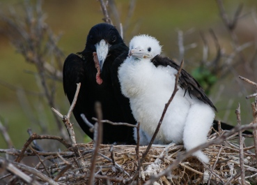 Great Frigatebird with chick