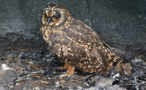 Short-eared Owl with a pile of Wedge-rumped Storm-Petrel remains