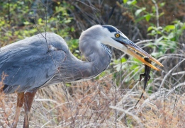Great Blue Heron having lunch