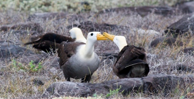 Dancing Waved Albatross