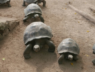 Galapagos giant tortoises at nursery