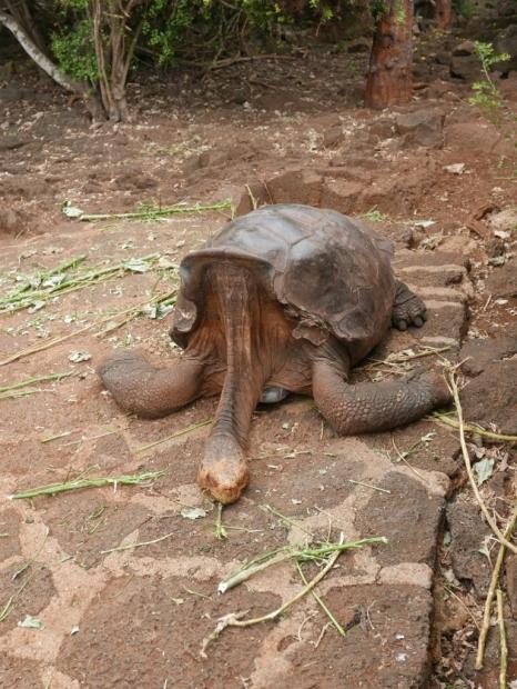 Galapagos Tortoise at Charles Darwin Center