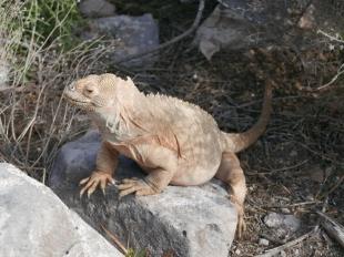 Land Iguana on Santa Fe Island
