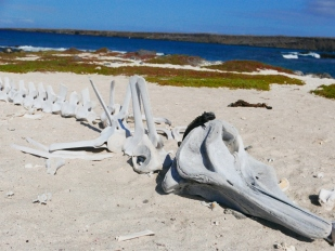 Marine Iguana on Minke whale skeleton