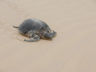 Pacific Green Sea Turtle heading to sea