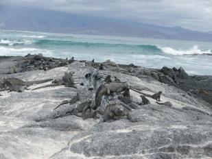 Piles of Marine Iguanas