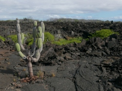 Lava and cactus fields on Punta Moreno