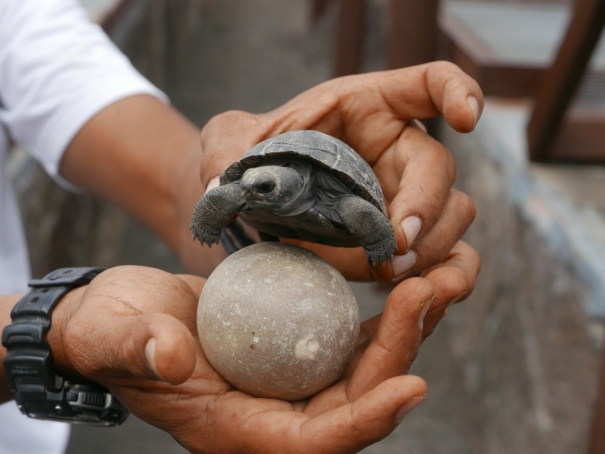 Tortoise egg and baby